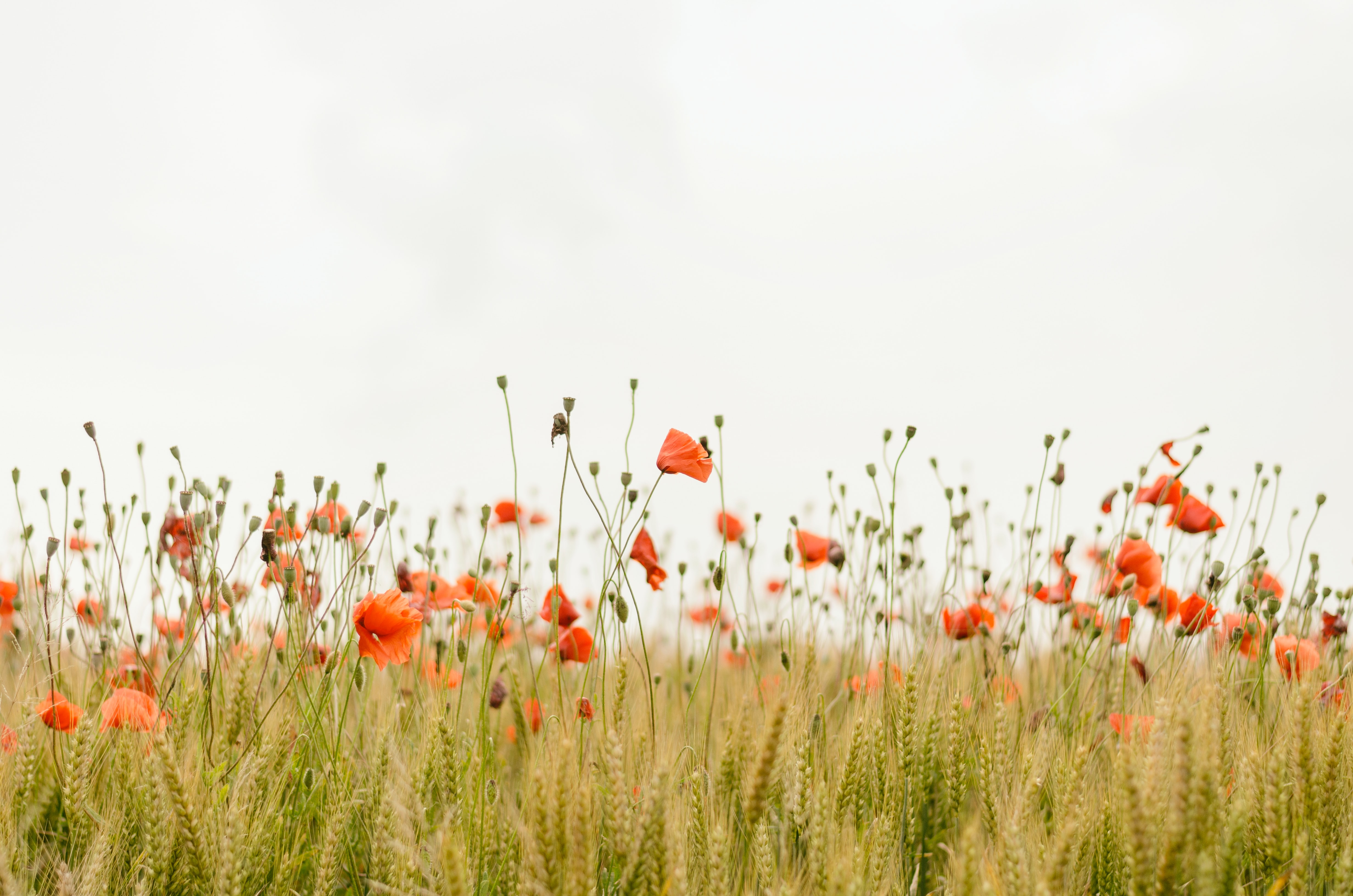 Orange poppies in a field